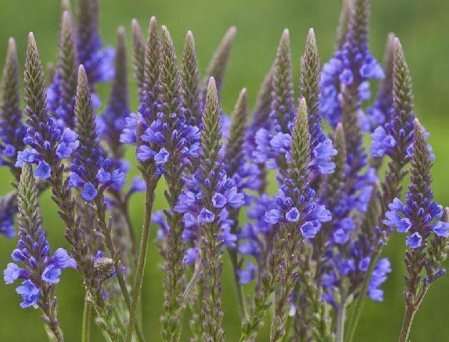 Вербена лекарственная — лечебные свойства, применение и рецепты