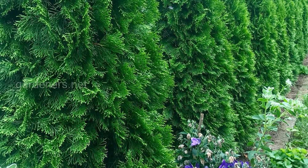 Чем обработать хвойные весной от болезней и вредителей