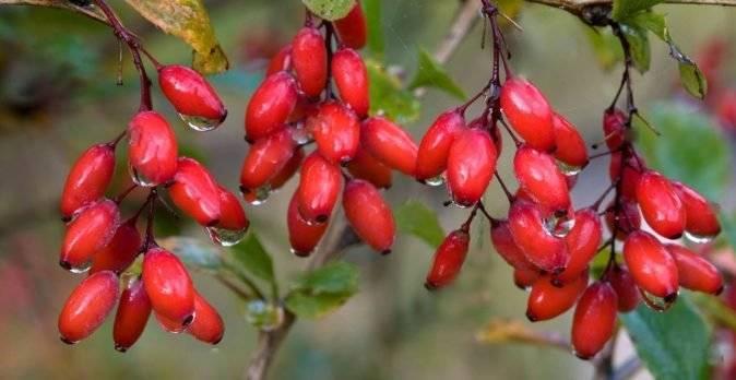 Польза и вред барбариса для здоровья