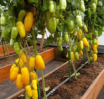 Экзотический вкус помидора с цитрусом — томат банановые ноги