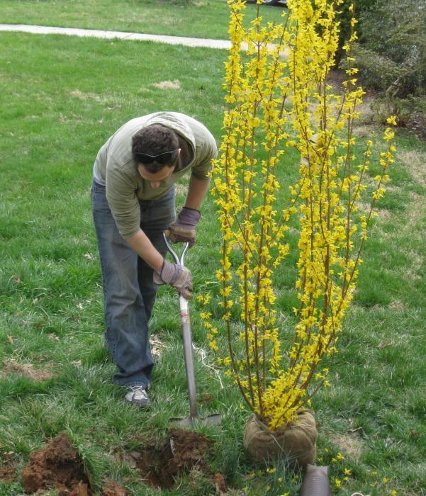 Форзиция: посадка и уход в открытом грунте, выращивание и размножение