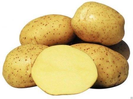 Картофель латона: описание сорта, характеристики, фото