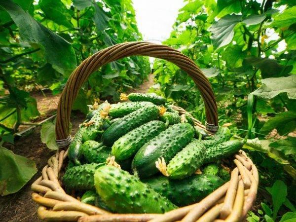 Самые урожайные и лучшие сорта огурцов для подмосковья