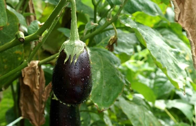 Как вырастить баклажаны в сибири: подходящие сорта, когда сеять семена на рассаду и когда лучше осуществлять посадку в открытый грунт или теплицу?