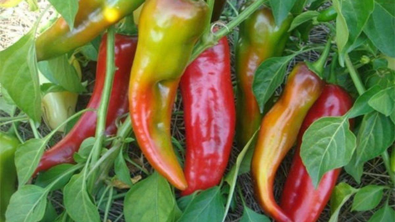 Перец какаду - основные правила выращивания крупноплодного сорта - общая информация - 2020
