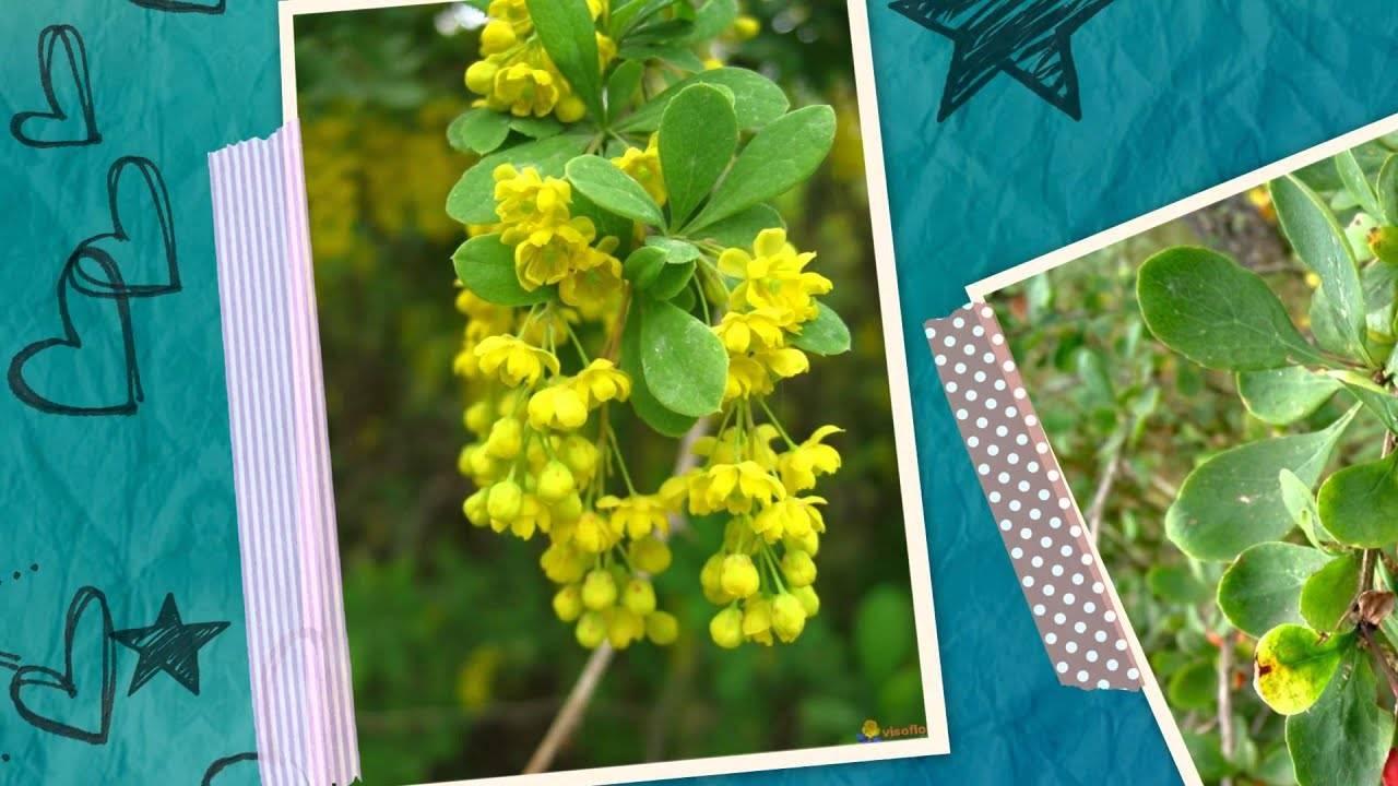 Барбарис обыкновенный, описание, сорта и основы выращивания