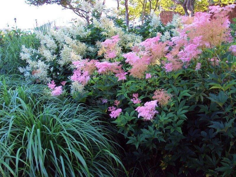 Таволга (лабазник) дланевидная: описание, выращивание и уход
