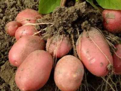 Картофель под названием астерикс. достоинства и недостатки