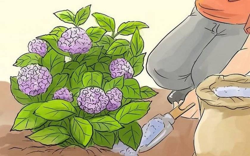 Лучшие сорта крупнолистной гортензии, их посадка и уход