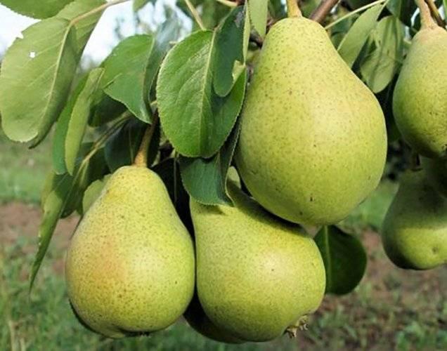 Груши для подмосковья: урожайные, самоплодные, осенние, летние, самые вкусные и устойчивые к болезням