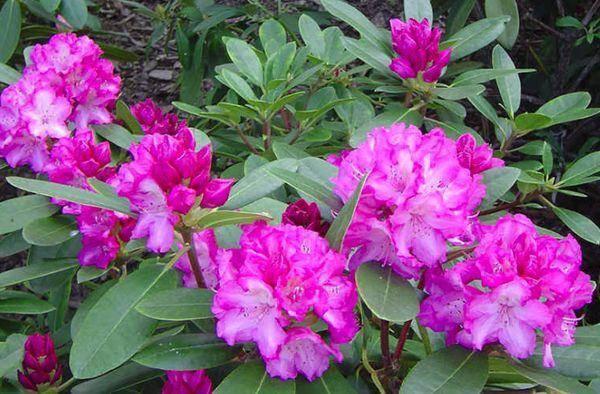 Рододендрон: «цветочный взрыв»: выращивание и уход в открытом грунте