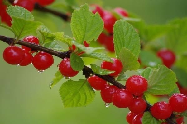 Войлочная вишня салют описание сорта. 12 лучших сортов войлочной вишни с фото и описанием