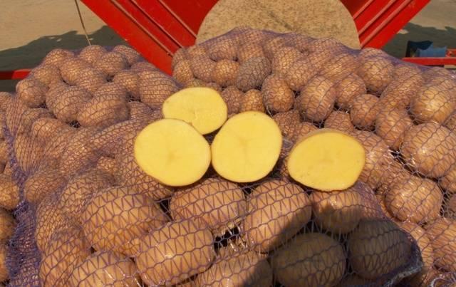 Отличительные характеристики и описание сорта картофеля уладар. особенности его выращивания
