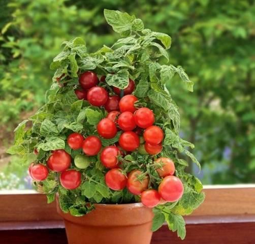 Выращивание помидоров черри в открытом грунте: посадка и уход. от рассады до сбора урожая - onwomen.ru