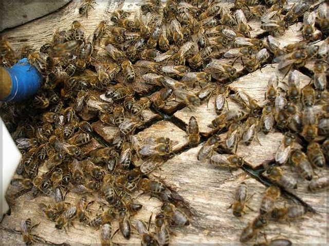 Состав, характеристика и применения подкормки антивир для пчел