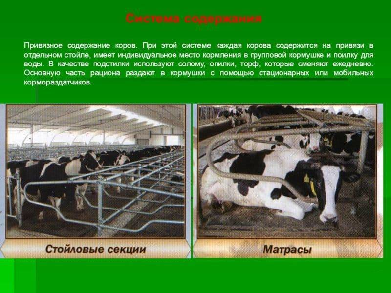Беспривязное содержание коров боксовое содержание