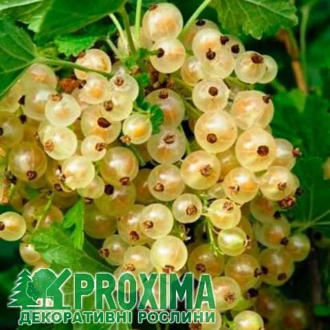 Лучшие сорта белой смородины: как правильно посадить и вырастить на участке