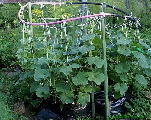 Овощ редис: посадка и уход в открытом грунте, фото, выращивание из семян, виды и сорта