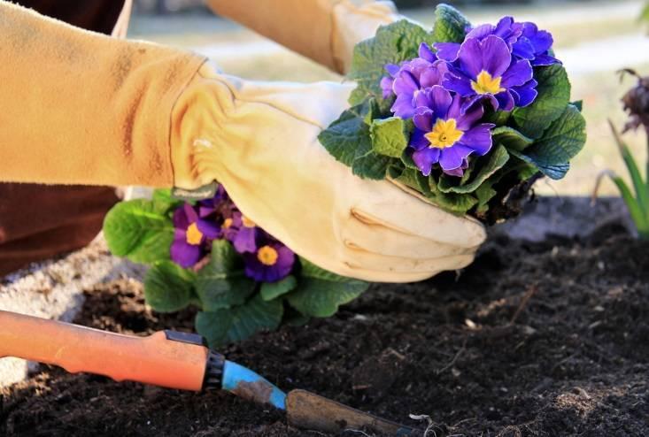 Посадка и выращивание примулы в открытом грунте