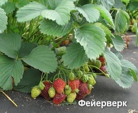 Земляника фейерверк: выращивание, описание сорта, фото и отзывы