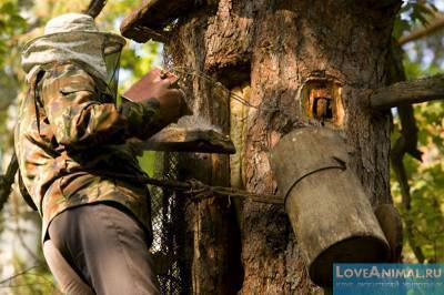 Пчеловодство в колодах — назад в прошлое или будущее современных пасек?
