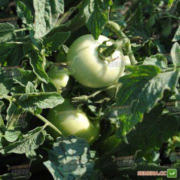 Описание и характеристика томатов сорта линда