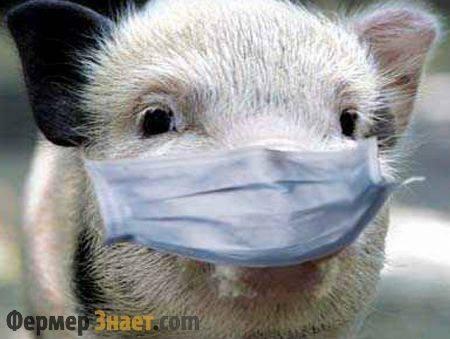 О чесотке у свиней: у поросят болячки похожи на коросты что это, лечение
