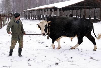 Холмогорская порода коров: описание, особенности содержания