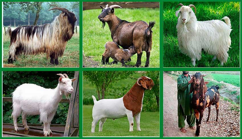 Породы коз молочных без запаха: обзор популярных пород