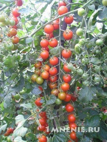 Томаты черри – сорта, фото и отзывы огородников