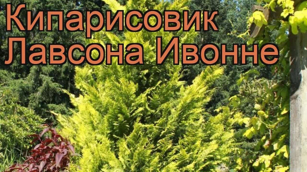 Кипарисовик лавсона: описание, популярные сорта и правила ухода