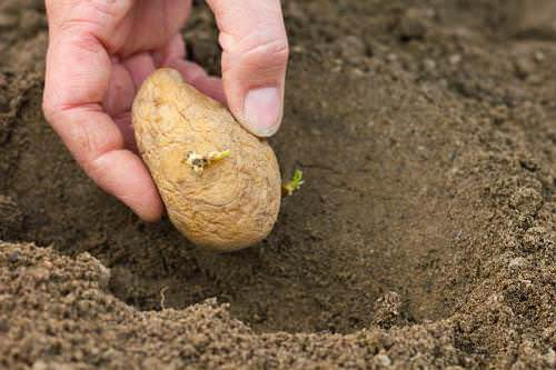 Какие удобрения лучше вносить при посадке картофеля: советы от мастеров-огородников