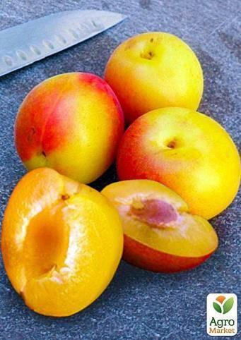 Особенности выращивания гибрида сливы и абрикоса и ухода за ним