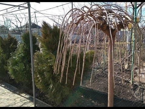 Размножение шелковицы черенками летом