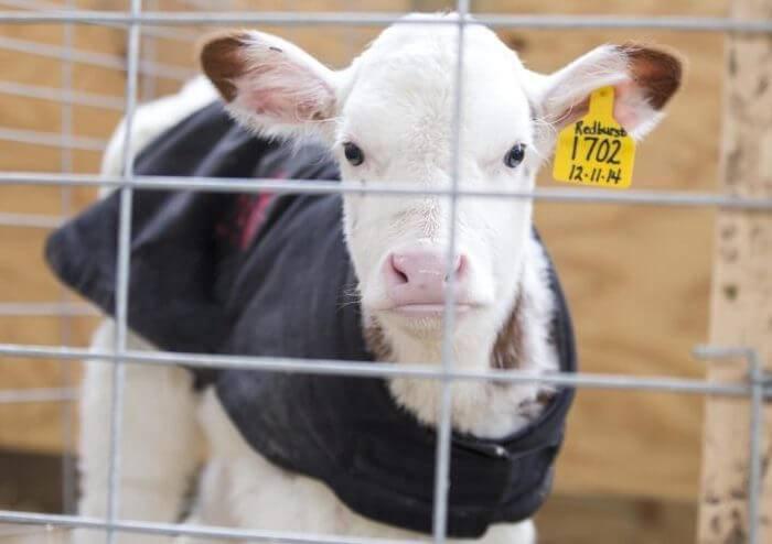 Гиподерматоз крупного рогатого скота – лечение оводовых болезней 2020