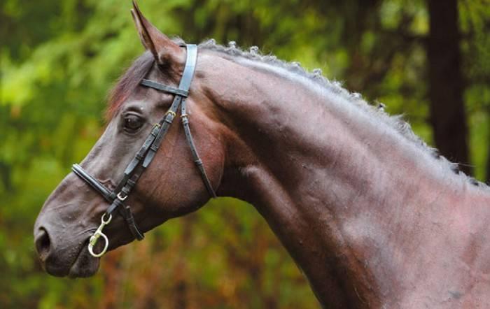 Лошади кладрубской породы: история, описание, особенности