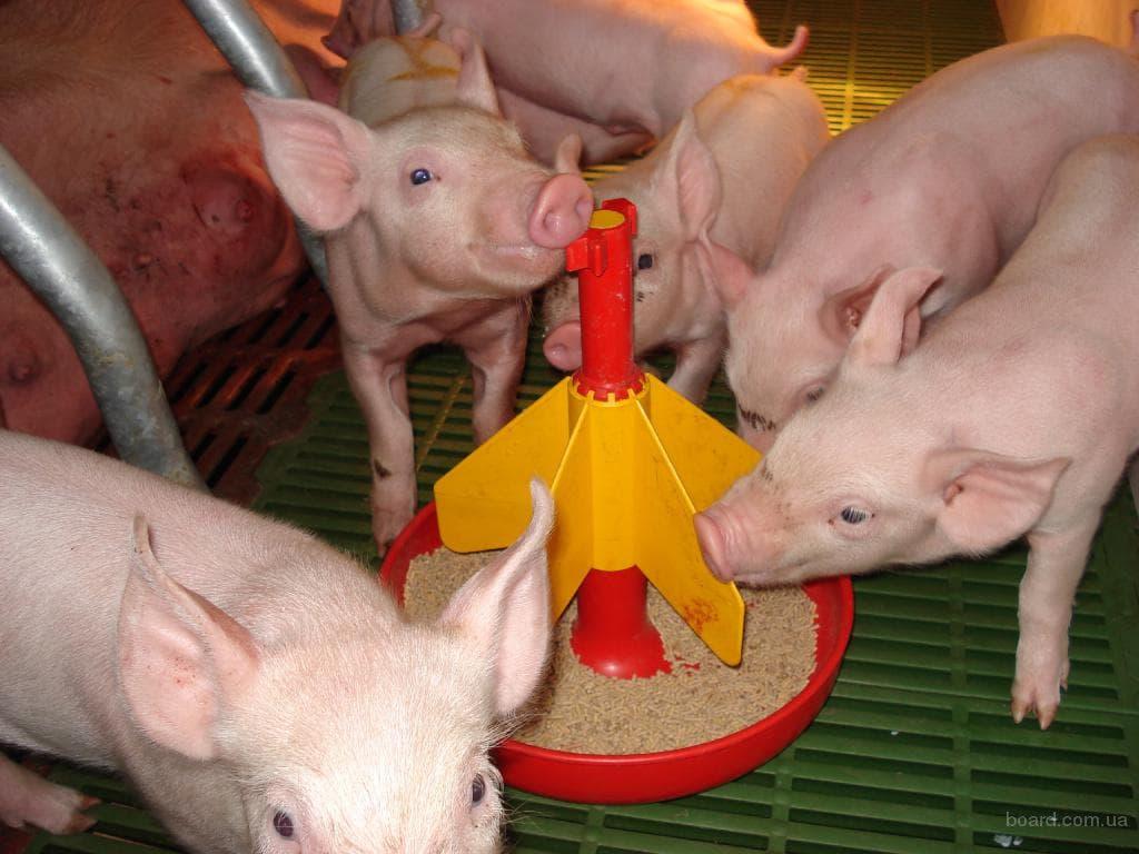 Откорм свиней: самые эффективные методы