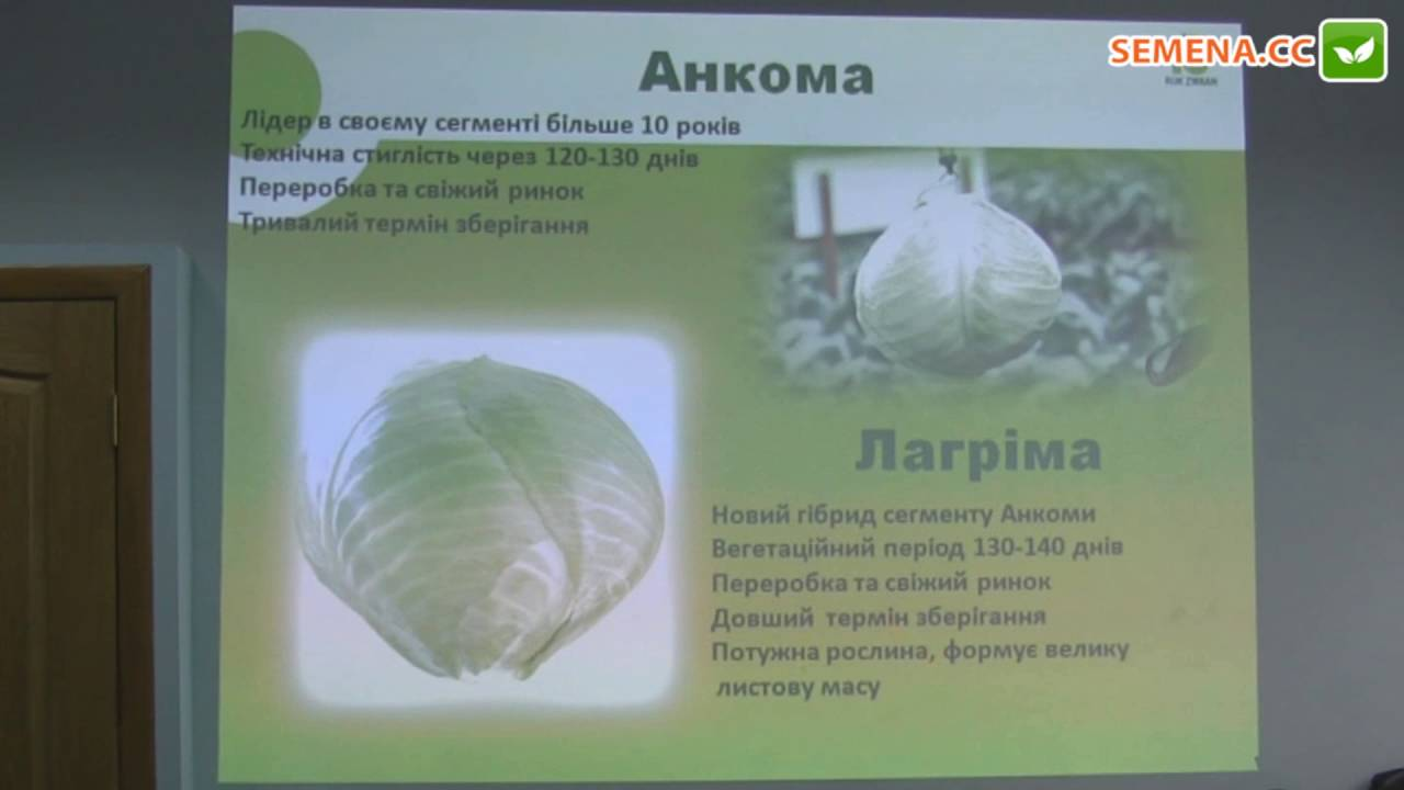 Капуста менза f1: особенности и характеристика сорта, выращивание и уход