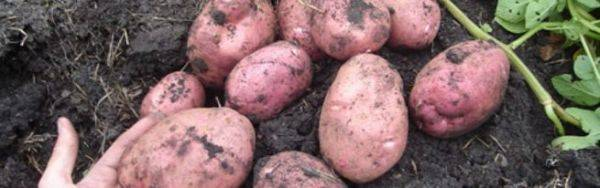 Самый крепкий и выносливый культивар сибирской селекции — картофель югана: описание сорта и отзывы