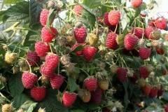 Ремонтантная малина химбо топ: урожайность, сроки созревания
