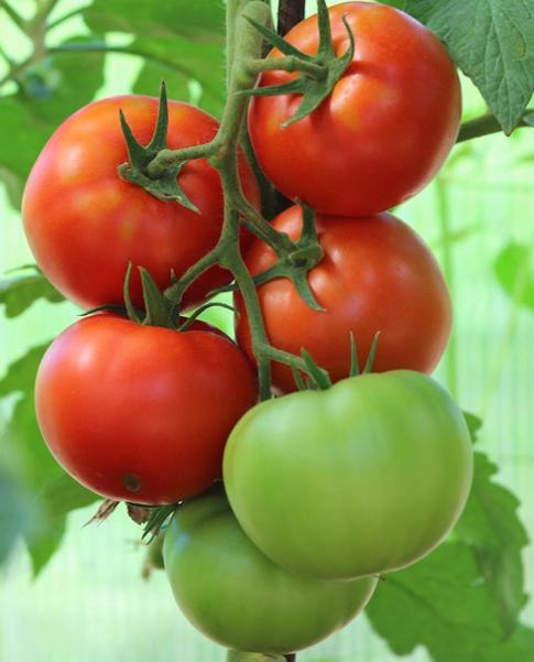 Томат президент f1 — описание сорта, отзывы, урожайность