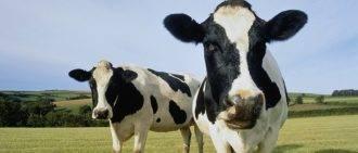 Определение стельности у коров по месяцам