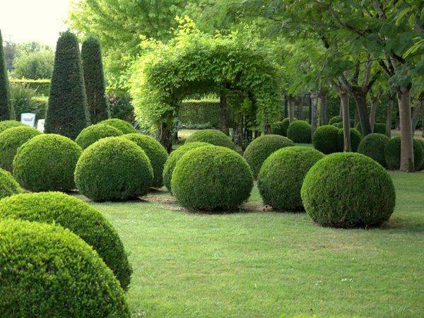 Самшиты — вечнозеленые кустарники на даче: посадка, выращивание и уход за самшитом