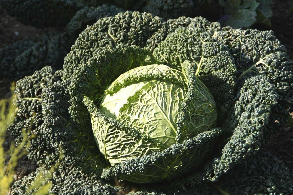 Польза и рецепты приготовления савойской капусты