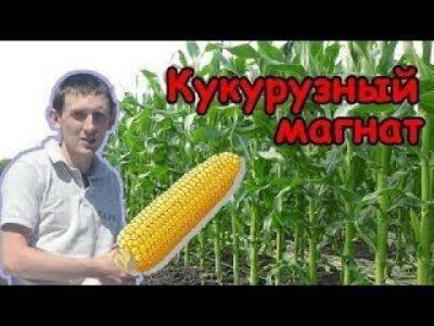 Выращивание кукурузы в сибири и на урале. когда садить на рассаду и как правильно ухаживать?