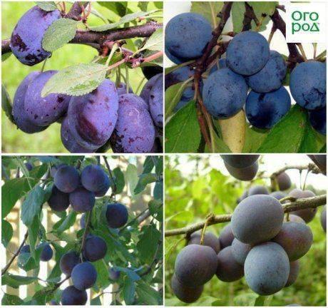 Удачный подарок для каждого садовода средней полосы россии - слива «синий дар»