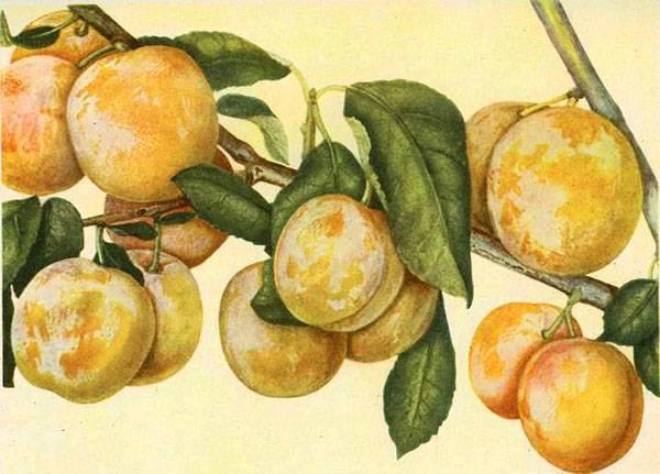 Какая на вкус и как плодоносит персиковая слива