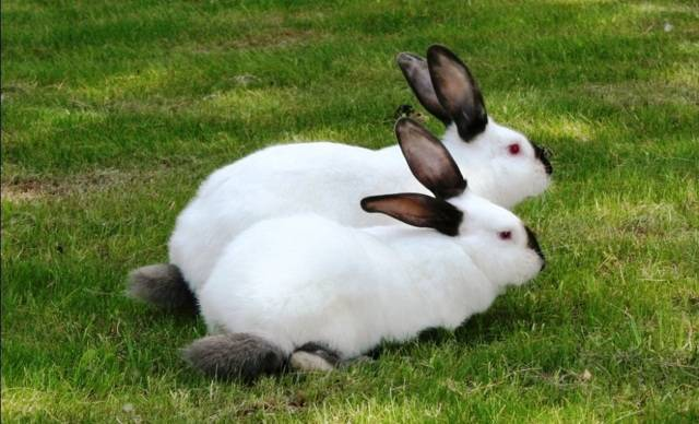 Все о калифорнийских кроликах