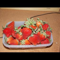 Клубника дарселект: любимая многими садоводами француженка