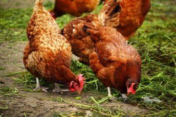 Как и чем лечить микоплазмоз у птиц?